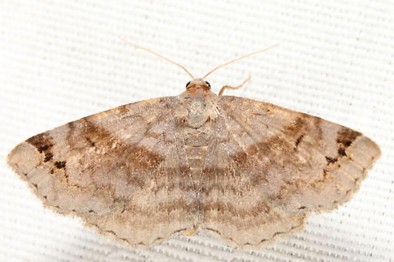 Six-spotted Gray - Spargaloma sexpunctata