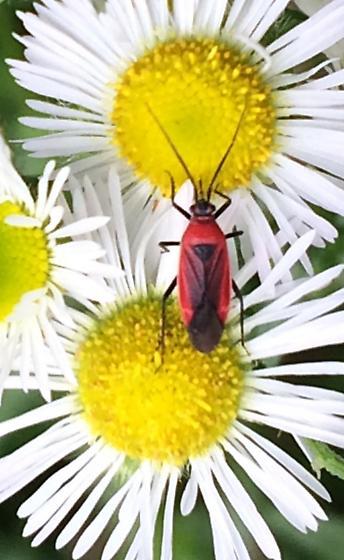 Bug on fleabane - Lopidea