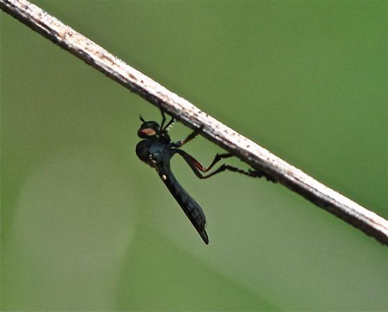 Small Fly - Holcocephala calva