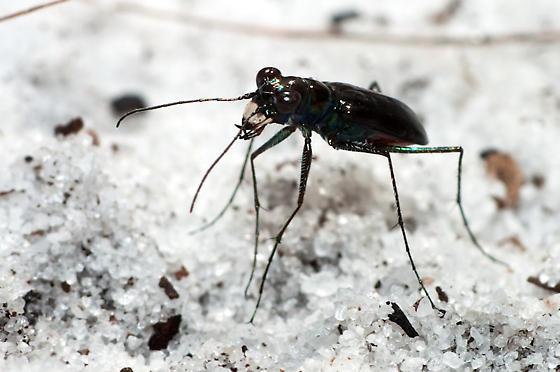 Tiger Beetle - Cicindelidia highlandensis