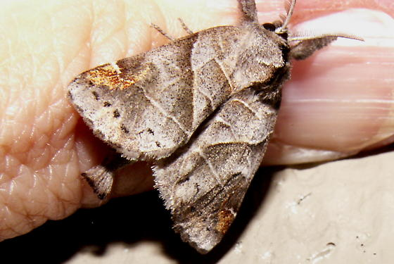Angle-lined Prominent Moth - Hodges #7896 - Clostera inclusa