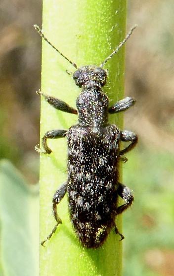 Beetle - Retocomus brittoni