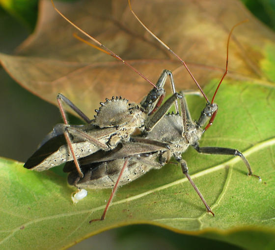 Wheel Bugs Mating - Arilus cristatus - male - female