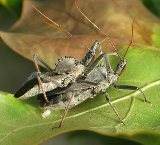 Wheel Bugs Mating - Arilus cristatus - male - female
