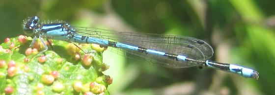 My first-ever New England Bluet - Enallagma laterale - male