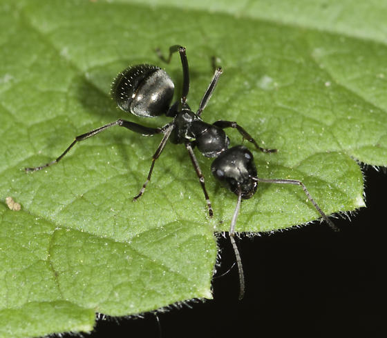 A couple of ants in the understory - Formica subsericea