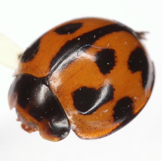 Coelophora inaequalis (Fabricius) - Coelophora inaequalis