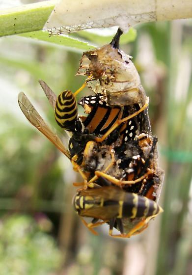 European Paper Wasp (Polistes dominula) & Monarch Pupa - Danaus plexippus