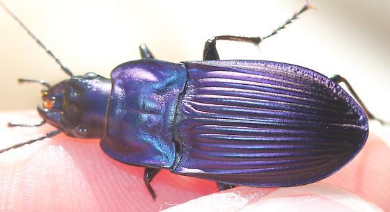 Dicaelus - Dicaelus purpuratus