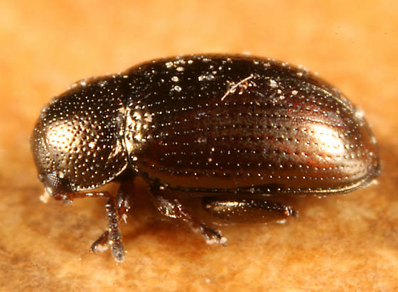 Flea Beetle - Mantura chrysanthemi