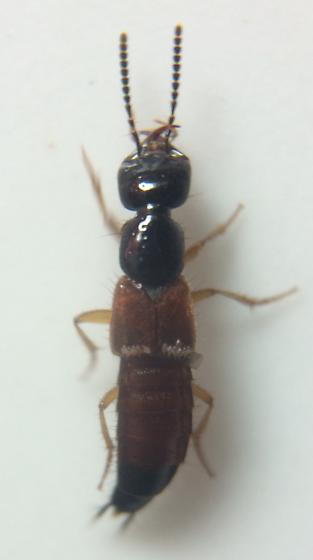 Staphylinid - Belonuchus rufipennis
