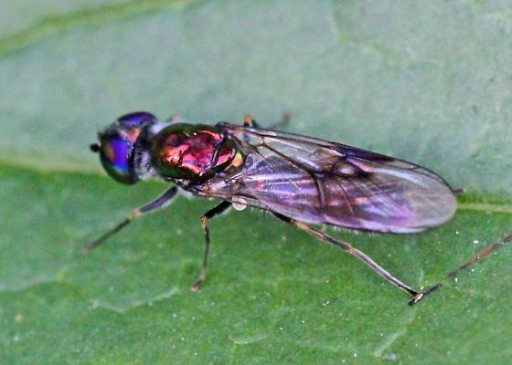 Metallic Blue-eyed Syrphid (I think Syrphidae).
