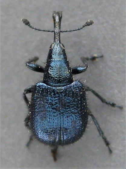 H. pseudomexicanus - Haplorhynchites pseudomexicanus