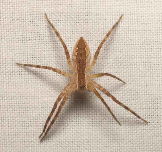 Nursery Web Spider - Pisaurina mira