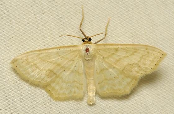 White wave moth - Scopula