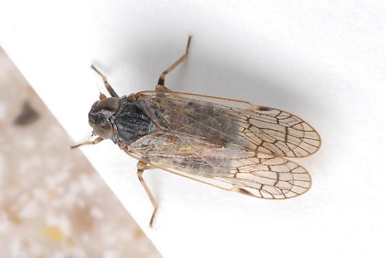 Planthopper - female