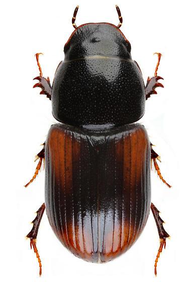 Planolinellus vittatus - Aphodius vittatus
