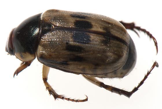 Coleoptera - Anomala undulata
