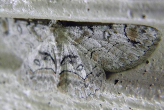 Bent-line Gray - Hodges #6588 - Iridopsis larvaria
