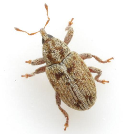 Sibinia inermis (Casey) - Sibinia inermis