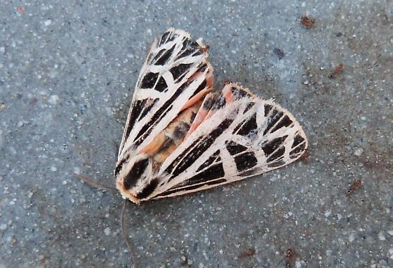 GA moth2 - Apantesis parthenice