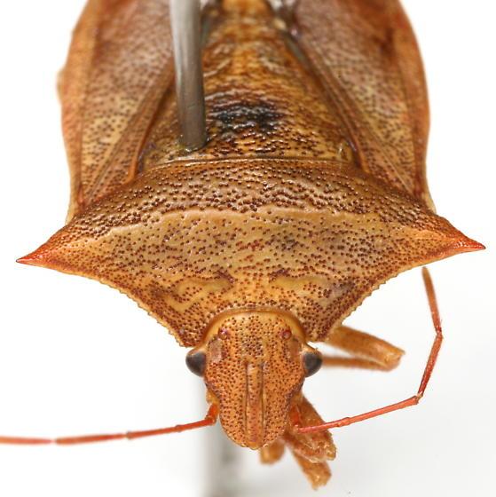 Euschistus ictericus (Linnaeus) - Euschistus ictericus