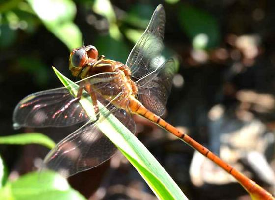 Dragonfly - Forceptail? - Aphylla williamsoni - male