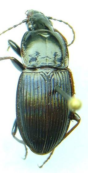 Pterostichus - Pterostichus atratus