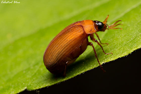 Really like the antenna on this bug - Nipponoserica peregrina