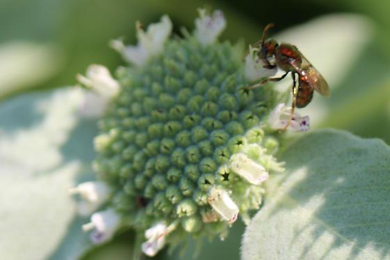 Red Sweat Bee - Augochlora pura