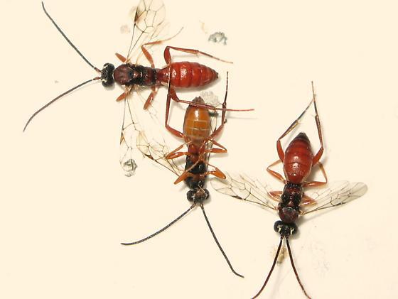 Ichneumons - Sphecophaga vesparum