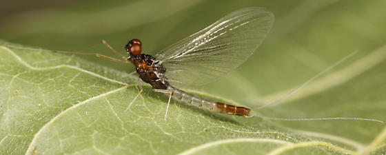 mayfly - Paraleptophlebia debilis