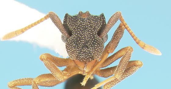 Formicid - Cyphomyrmex rimosus