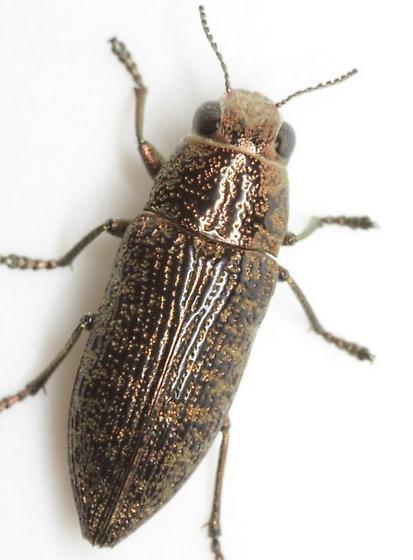 Lampetis cupreopunctata (Schaeffer) - Lampetis cupreopunctata