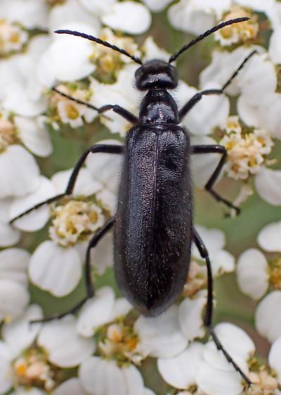 Black meloid