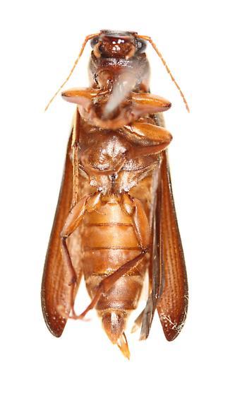 Selonodon sp? - Selonodon floridensis - male