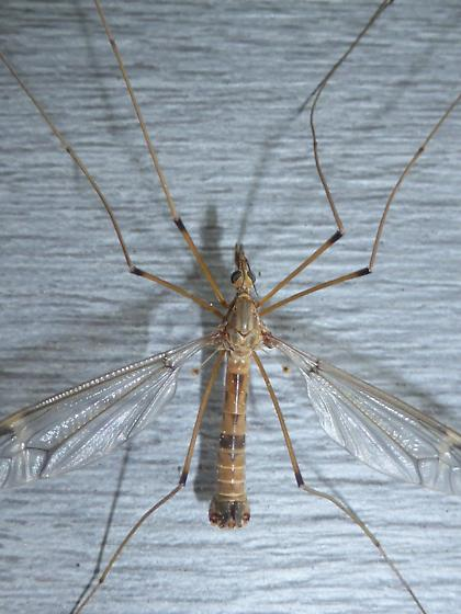 Crane Fly - male
