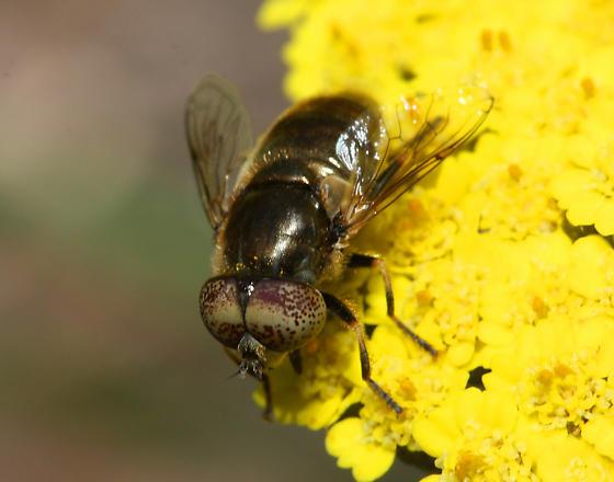 unidentified Syrphid - Eristalinus aeneus
