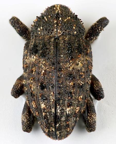 Weevil - Cryptorhynchus tristis
