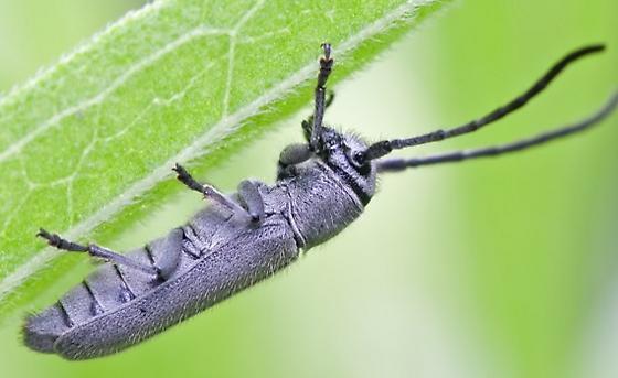 Unknown Beetle #1 - Mecas cineracea