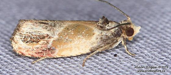 Moth - Eumarozia malachitana