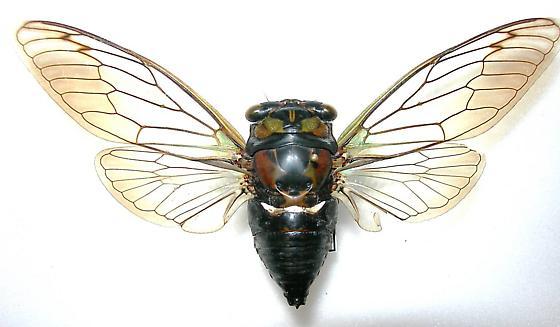Tibicen lyricen f. lyricen (Western Group) - Neotibicen lyricen - male