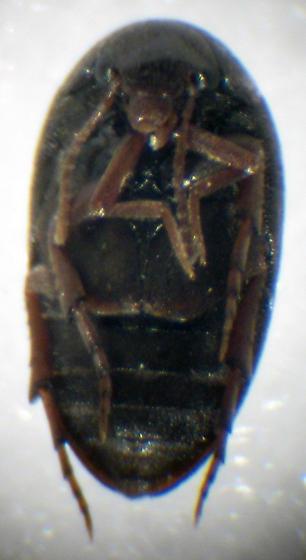 Plate-Thigh Beetle - Eucinetus terminalis