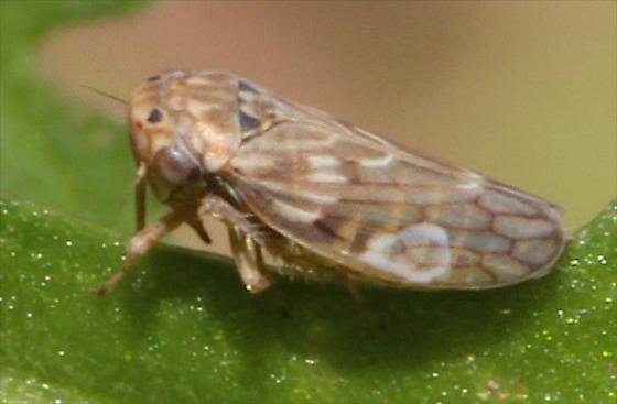Leafhooper - Ceratagallia uhleri