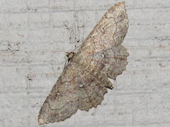 Grometrid moth sp - Cyclophora nanaria - female