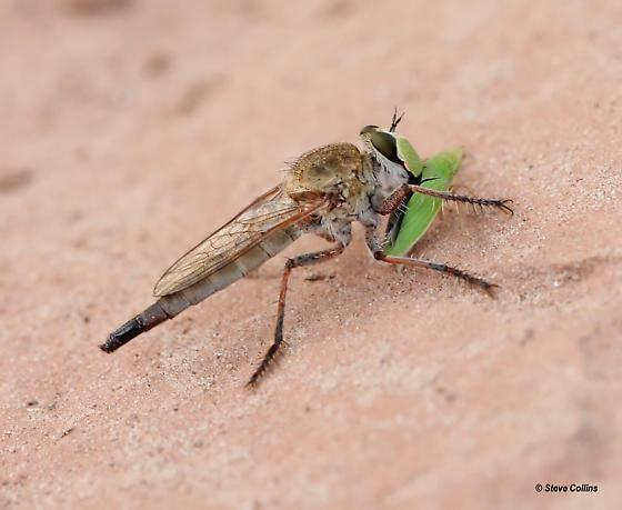 Proctacanthella - female