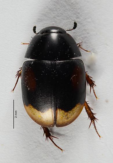 Dung loving Water Beetle.... - Sphaeridium