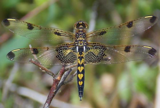 Celithemis elisa - male