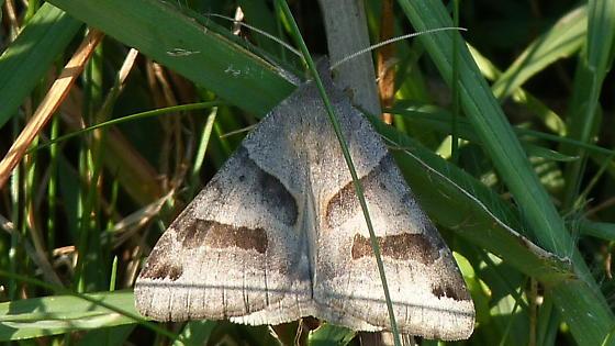 Deltoid Moth - Caenurgina erechtea