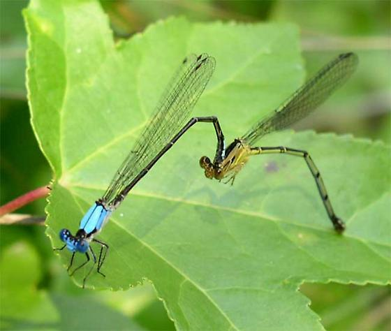 Blue Fronted Dancer Pair - Argia apicalis - male - female